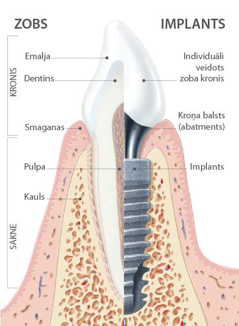 zobu anatomija-02